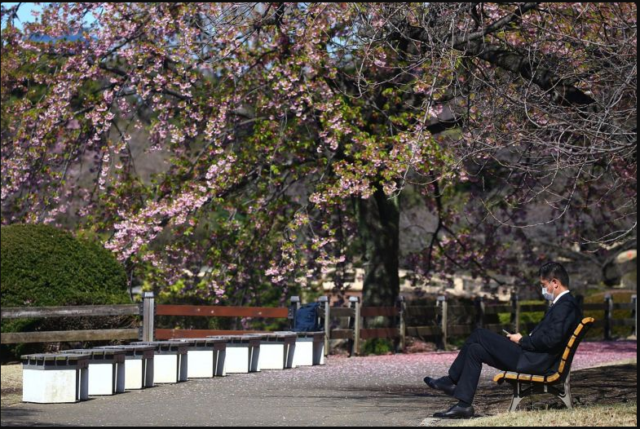Scrapping Japan Cherry blossom 'like taking hugs away from Italians': Tokyo gov