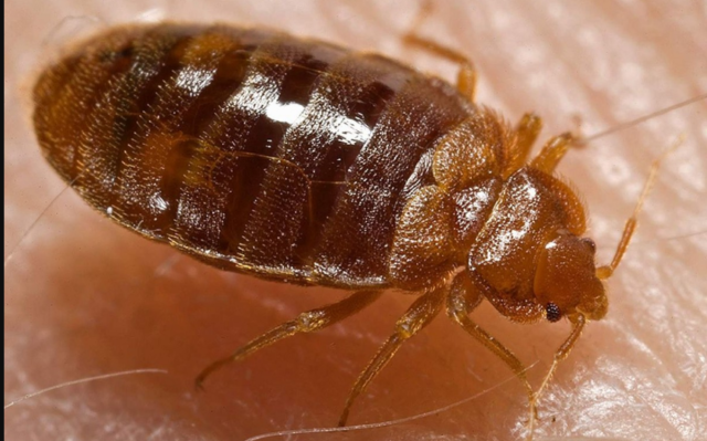 How to make sure bed bugs don't return once exterminated?